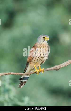 Common kestrel Falco tinnunculus, adult male, perched on branch, Kiskunfélegyháza, Hungary in June. - Stock Photo
