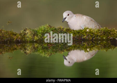Eurasian collared dove Streptopelia decaocto, adult, perched by woodland pool, Lakitelek, Hungary in June. - Stock Photo