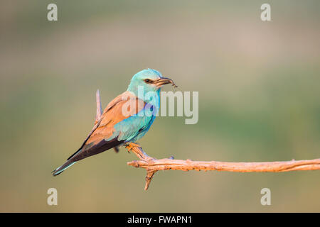 European roller Coracias garrulus, adult, perched on branch with prey, Kiskunfélegyháza, Hungary in June. - Stock Photo