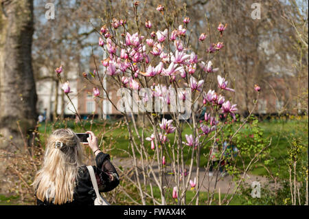 London, UK.  2 April 2016.  A woman photographs a magnolia tree as spring sunshine and warm temperatures bring Londoners and tourists out to enjoy the weather in St. James's Park. Credit:  Stephen Chung / Alamy Live News