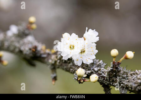 Prunus spinosa 'Plena'. Blackthorn flowers in Spring.blossoms - Stock Photo