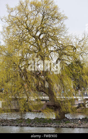 Salix. Willow tree in Early Spring on the banks of the River Avon. - Stock Photo