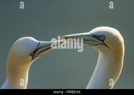 Close up of a pair of backlit Northern Gannet (Morus bassanus) during courtship, Bempton Cliffs, East Yorkshire, - Stock Photo