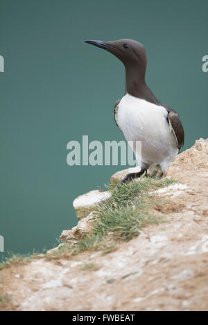 An adult Guillemot (Uria aalge)  in summer breeding plumage on cliff edge with sea in background, Bempton Cliffs, - Stock Photo