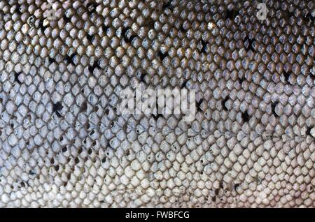 background salmon's skin with scales - Stock Photo