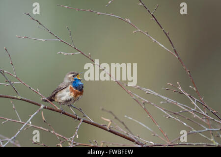 Bluethroat ( Luscinia svecica ) singing its song sitting in branches of a birch bush, wide open beak, clean background. - Stock Photo