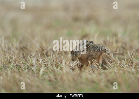 Brown Hare / European Hare / Feldhase ( Lepus europaeus ) sitting in a harvested field, looks a little bit anxious. - Stock Photo
