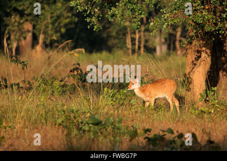 Young spotted deer or chital (Axis axis), Kanha National Park, India - Stock Photo