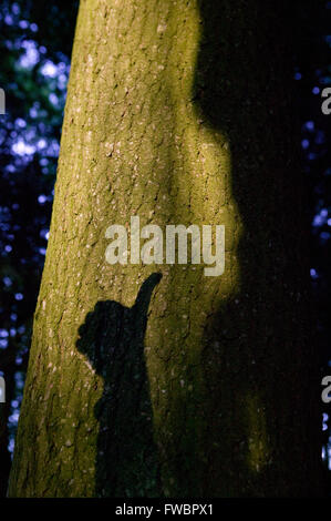 A beam of evening light falls across the trunk of an ancient tree in a dense forest making it shine out in relief - Stock Photo