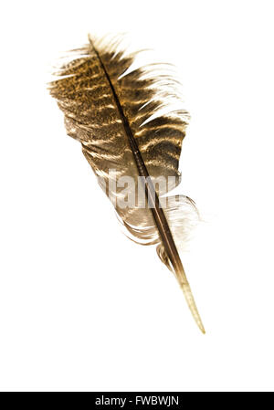Eastern Wild Turkey feather (Meleagris gallopavo silvestris). - Stock Photo