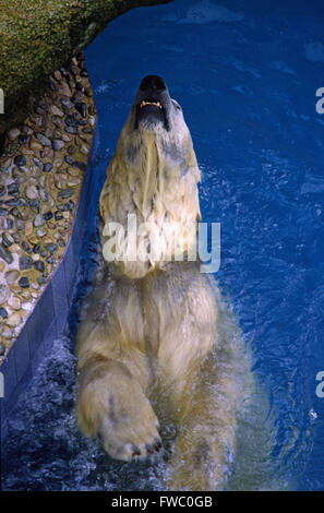 A Polar bear in Singapore zoo swims in the pool to keep cool. - Stock Photo