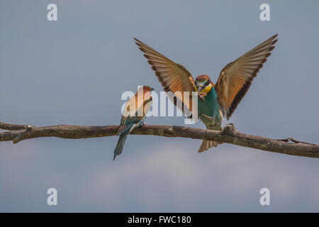 A pair of European Bee-eaters - Merops apiaster - Stock Photo