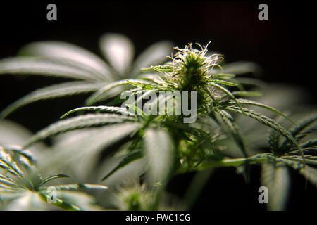 Marijuana / cannabis plant and flower bud. - Stock Photo