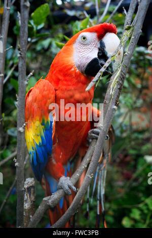 Central American scarlet macaw parrot (ara macao cyanoptera) at the Casa Santo Domingo in Antigua. - Stock Photo