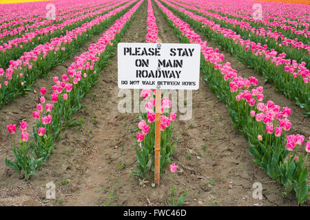 Vibrant and colorful tulips in the field with muddy tracks and a sign that reads, 'Please stay on the main roadway' - Stock Photo
