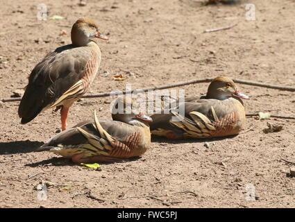 Three Plumed whistling ducks (Dendrocygna eytoni), native to New Guinea and Australia, also known as Grass whistle - Stock Photo