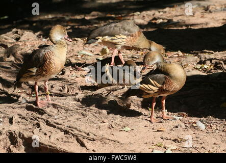 Plumed whistling ducks (Dendrocygna eytoni), native to New Guinea and Australia, also known as Australasian Grass - Stock Photo