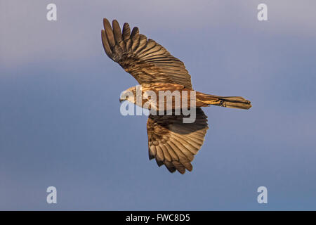 Female Marsh Harrier (Circus aeruginosus) in flight, Cambridgeshire, England - Stock Photo