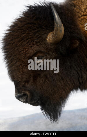 Bison (Bison bison) in snow. Lamar Valley, Yellowstone National Park, Wyoming, Montana, USA - Stock Photo