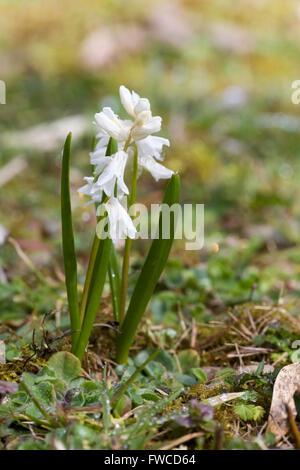 Puschkinia,Puschkinia scilloides, inflorescence - Stock Photo