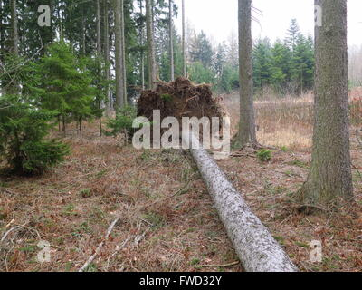 Uprooted tree - Stock Photo