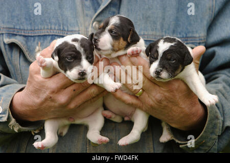 Cowboy holds cute Jack Russel puppies litter at farm ranch in Portland Oregon - Stock Photo