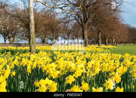 Spring Daffodils along the River Trent at Victoria Embankment in Nottingham, Nottinghamshire England UK - Stock Photo