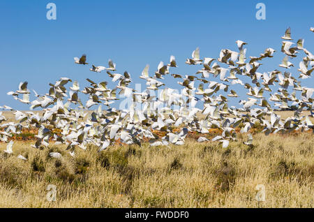 A flock of little corella (Caucatua sanguniea) feeding amongst spinifex grassess near Jundah in Queensland Australia - Stock Photo