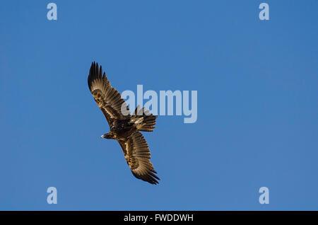 wedge tailed eagle Aquila audax queensland australia - Stock Photo