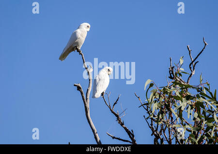 A pair of little corellas Cacatua sanguinea perched in a gum tree queensland australia - Stock Photo