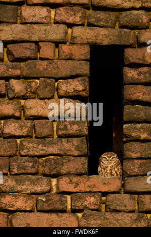 Little Owl / Minervas Owl  ( Athene noctua ) sitting, sunbathing in an owl hole of an old farmhouse build of red - Stock Photo
