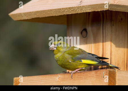 European greenfinch (Chloris chloris / Carduelis chloris) eating seed at garden bird feeder - Stock Photo