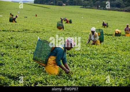 KENYA Kericho, worker pick tea leaves for Lipton tea, tea plantation of Unilever / KENIA Kericho, Frauen pfluecken - Stock Photo
