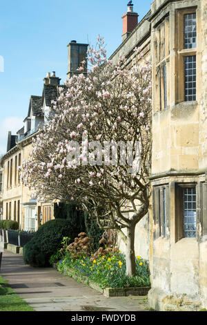 Magnolia tree in spring on the high street in Chipping Campden, Cotswolds, Gloucestershire, England - Stock Photo