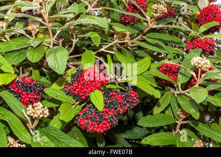 Wayfaring Tree, Hoarwithy Twistwood Meal Tree Viburnum lantana autumn berries - Stock Photo