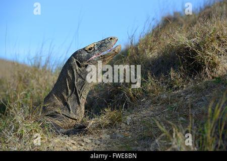 Komodo Dragon (Varanus komodoensis), Rinca Island, Komodo National Park, Indonesia - Stock Photo