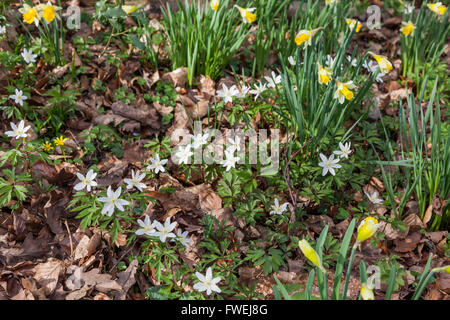 Wood Anemone and Wild Daffodils growing in spring at Betty Dawes Wood Nature Reserve, near Dymock, Gloucestershire - Stock Photo