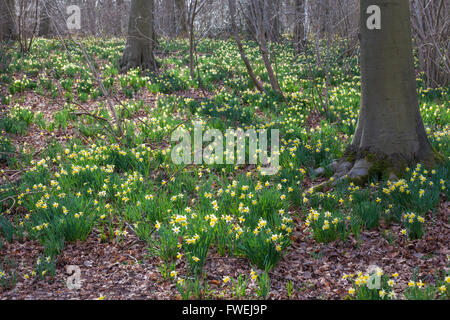 Wild Daffodils (Narcissus pseudonarcissus) growing in spring at Betty Dawes Wood Nature Reserve, near Dymock, Gloucestershire - Stock Photo