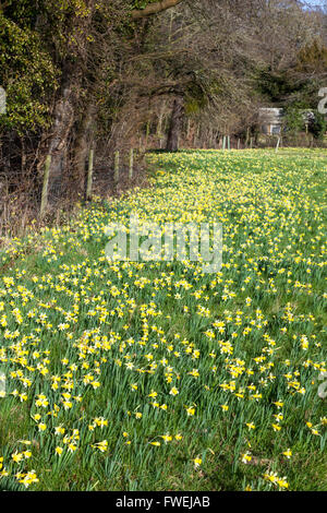 Wild Daffodils (Narcissus pseudonarcissus) growing in spring at Gwen & Veras Fields Nature Reserve, near Dymock, - Stock Photo
