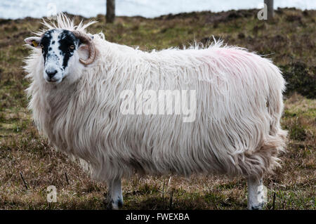 Blackface sheep on the top of a high sea cliff. - Stock Photo