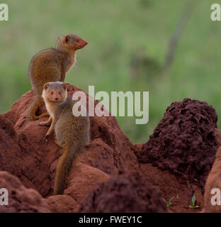Two dwarf mongooses on a termite mound - Stock Photo
