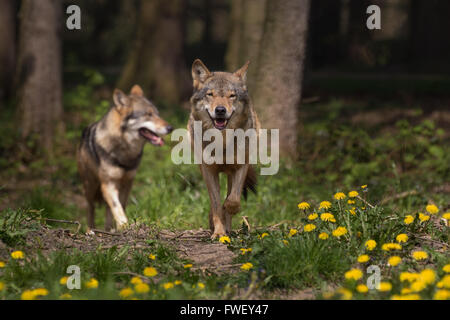 Two Eurasian wolfs appearing from the woods - Stock Photo