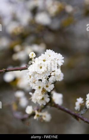 Prunus spinosa 'Plena' flowers in Spring. - Stock Photo