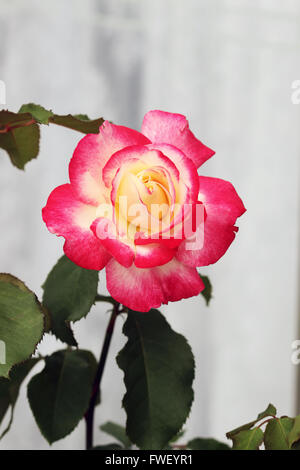 Double Delight Roses in full bloom - Stock Photo