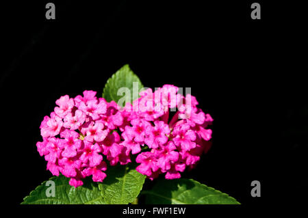 Close up of pink flower named Lantana Camara, also known as big-sage (Malaysia), wild-sage, red-sage, white-sage - Stock Photo