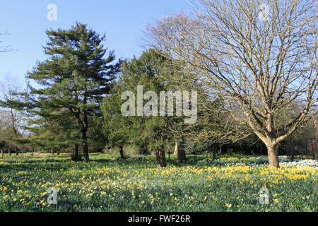 Daffodils in the 'Wilderness', Hampton Court Palace, East Molesey, Surrey, England, Great Britain, United Kingdom, - Stock Photo
