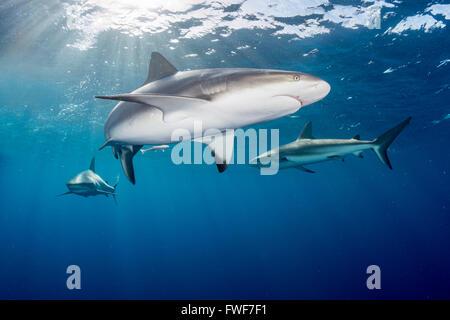 Caribbean reef shark, Carcharhinus perezi, Jardines de la Reina, Cuba, Caribbean Sea - Stock Photo