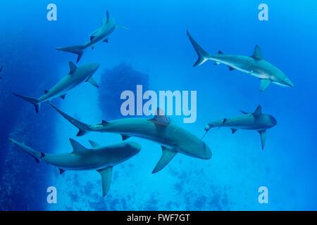 Caribbean reef sharks, Carcharhinus perezi, Jardines de la Reina, Cuba, Caribbean Sea - Stock Photo