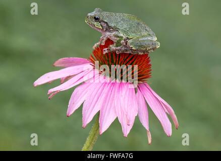 Common Gray Tree Frog Hyla versicolor sitting on top of Purple Coneflower (Echinacea purpurea) E USA - Stock Photo