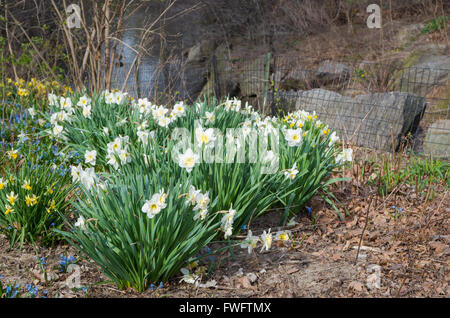 Spring in Central Park, New York, with yellow and white daffodils (Narcissus - Narcisseae) in bloom in the North - Stock Photo